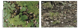 The photo on the left is forest floor with no earthworms. The one on the right is an area where earthworms have been introduced. (Front Ecol Environ 2004; 2(8): 427–435)